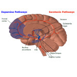 nutritional neuroscience, hormone pathways
