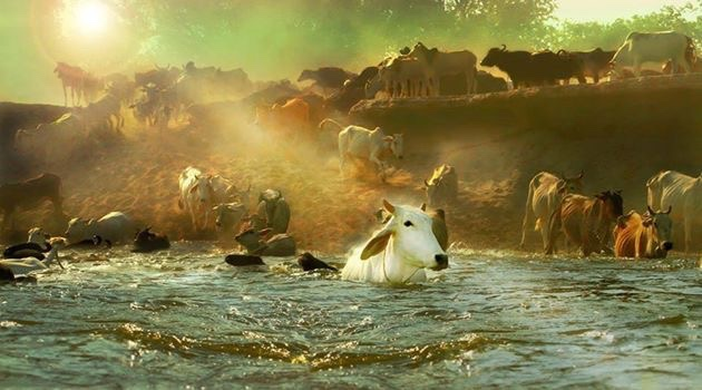 Divine Cows in India by Kurma Rupa